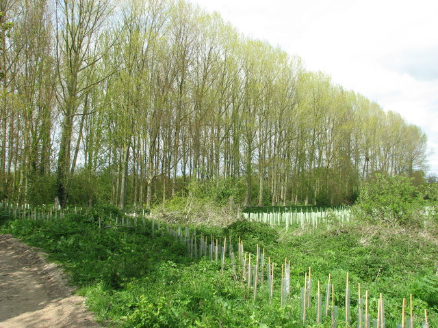 Plantation of new trees by Burton's Farm