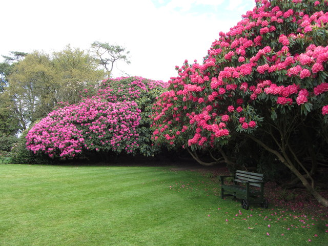 Rhododendron in flower at the Lost Gardens of Heligan