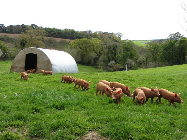 Tamworth piglets on the march at the Lost Gardens of Heligan