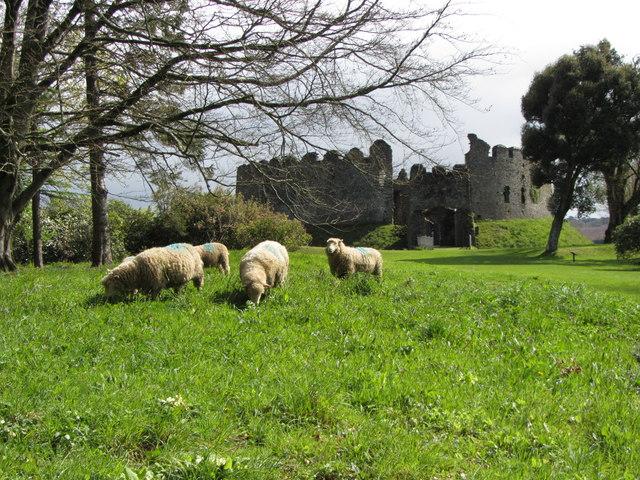 Sheep at Restormel Castle