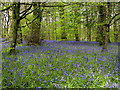 SX0864 : Bluebell woods near Lanhydrock House by Gareth James