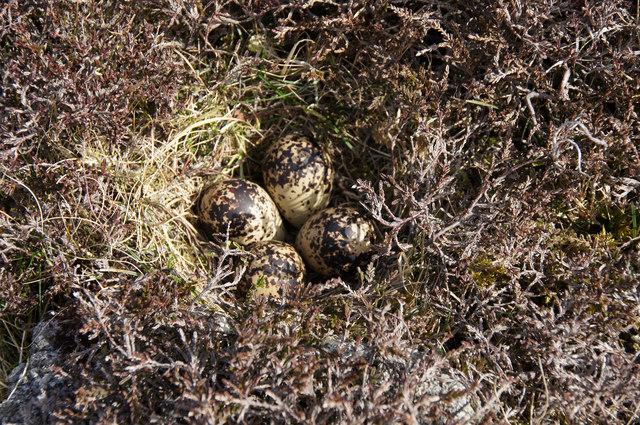 Golden Plover (Pluvialis apricaria) nest, near West Sandwick