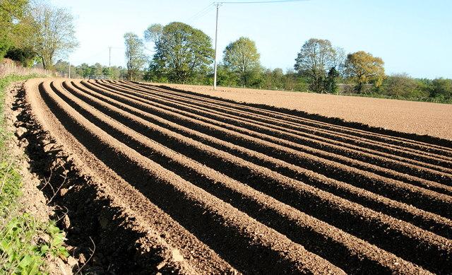 Potato furrows