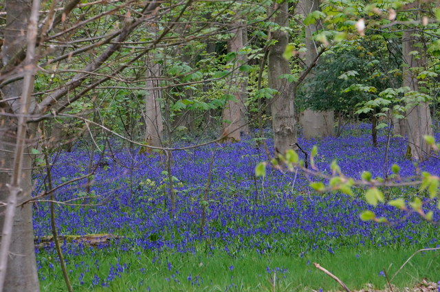 Waterloo Wood bluebells