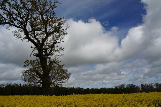 Oil seed rape crop and oak tree