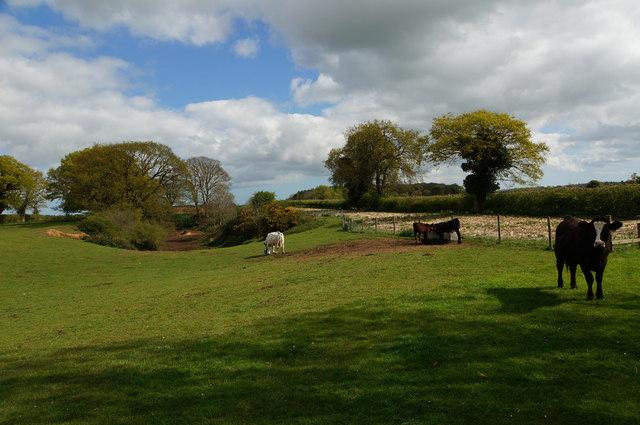 Cattle in field near Itteringham
