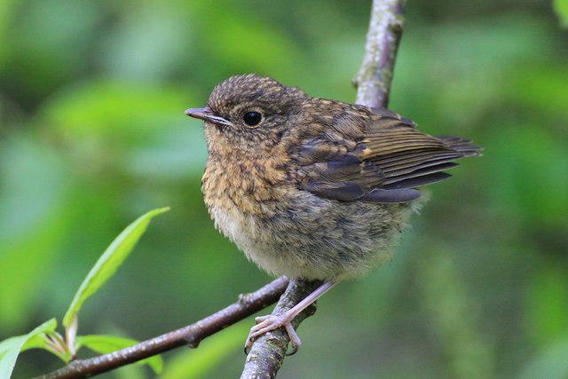 Robin fledgling, Leighton Moss Reserve