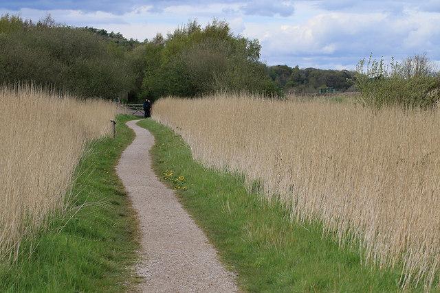 Footpath through reeds