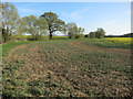 TL3658 : Patchy oilseed rape field by Hugh Venables