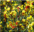 TG2602 : Flowering broom : Week 19