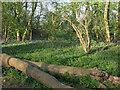 TL3558 : Bluebells, Hardwick Wood by Hugh Venables