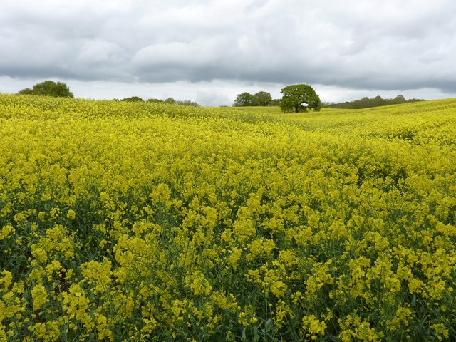 Rapeseed Field, by disused railway line, Alsager