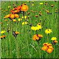 SO6023 : Some wild flowers in Ross-on-Wye : Week 22