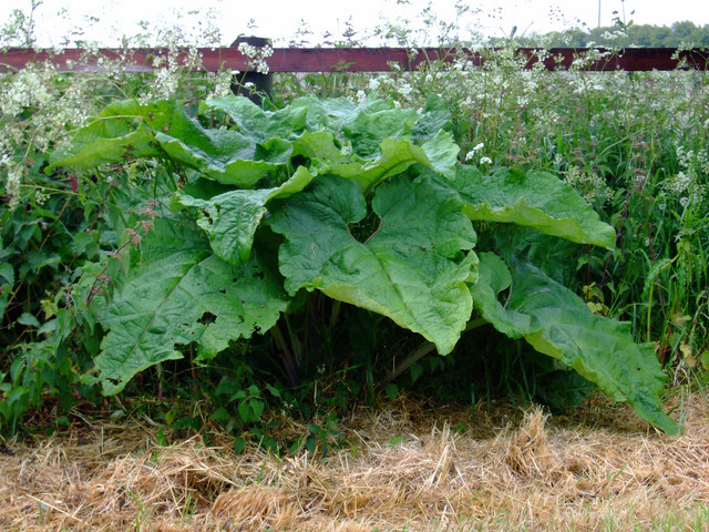 Wild Rhubarb near Bonby Top