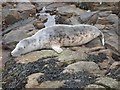 NZ3575 : Grey Seal resting on rocks below St. Mary's Lighthouse by Derek Voller
