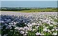 SU6386 : Opium poppies, Ipsden, Oxfordshire : Week 25