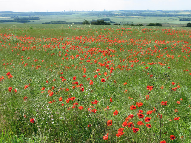 Field with Poppies near Hall Top