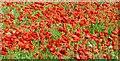 SE4105 : Field of poppies by Steve  Fareham