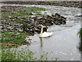ND2373 : Swan and cygnets on the Burn of Ham by David Purchase