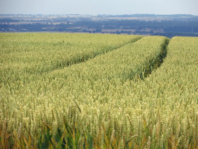 Ripening Wheat on Elsham Hill