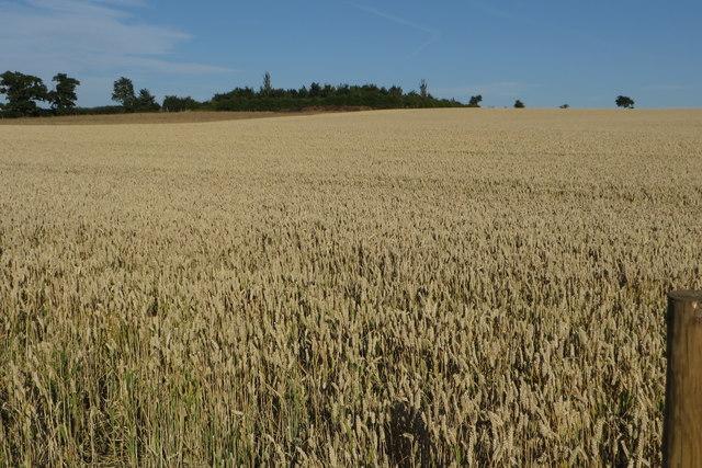 Wheatfield by Barley Hill Farm