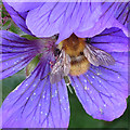 NO6948 : Bumble Bee on Cranesbill Flower (1) by Anne Burgess