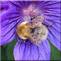 NO6948 : Bumble Bee on Cranesbill Flower (2) by Anne Burgess