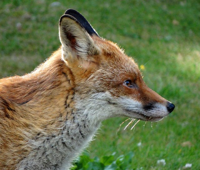 Head of a suburban fox