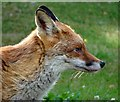 SK3284 : Head of a suburban fox by Neil Theasby