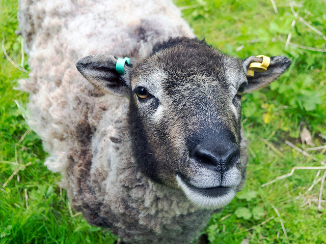 Soay Sheep thankful to be shed of its fleece