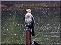 SJ3787 : Cormorant in the Rain at Sefton Park Lake by David Dixon