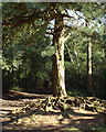 SP1096 : Scots pine with exposed roots, edge of Holly Hurst, Sutton Park by Robin Stott