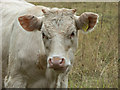 TQ1478 : Cattle in the Meadow, Osterley Park, London by Christine Matthews