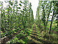 SO7043 : Hop field near Upper Town End Farm by Oast House Archive