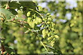 SO7151 : Hop flowers, Suckley Court by Oast House Archive