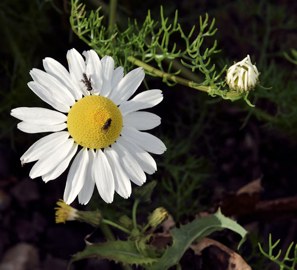 Mayweed, Helen's Bay (September 2015)