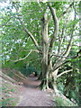 TQ5753 : Beech Tree on the Ightham Mote 'Green Walk' by Humphrey Bolton