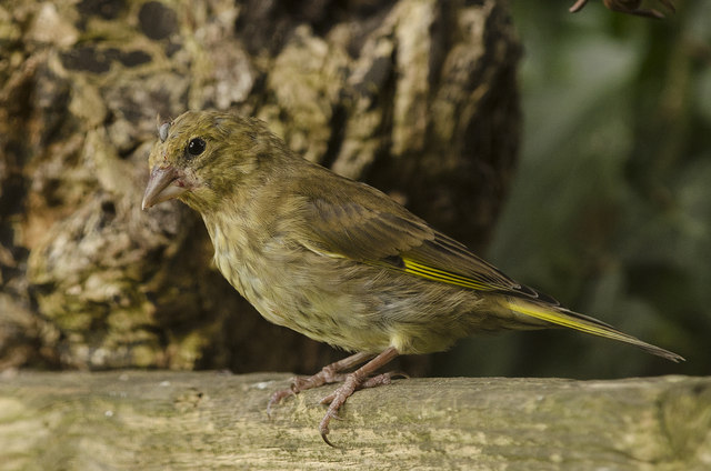 Greenfinch and parasitic tick