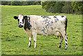 SJ8880 : Fine Holstein Cow by Anthony O'Neil