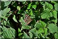 SW7541 : United Downs: Speckled wood butterfly seen on farm track by Michael Garlick