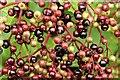 J4372 : Elderberries, Comber Greenway - October 2015(1) by Albert Bridge