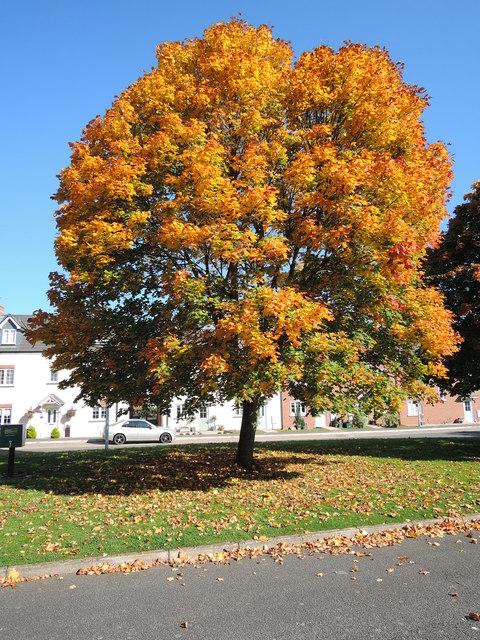Cullompton: Sycamore tree