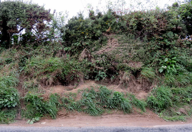 Badger latrines on roadside bank