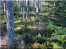 NH6661 : The floor of the Millbuie Forest by Julian Paren