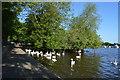 SU9677 : Swans, River Thames by N Chadwick