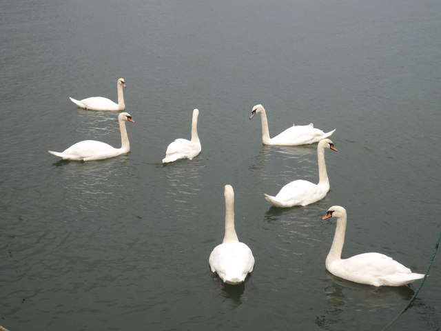 '' Seven swans a swimming'' © Richard Hoare :: Geograph ...