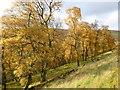 NS9221 : Birch wood, Glencaple by Alan O'Dowd