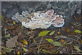 SJ7574 : Cheshire Fungi (4) by Anthony O'Neil
