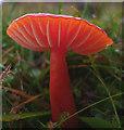 SD4674 : Vivid red mushroom, Heald Brow : Week 45