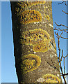 TG2001 : Lichen-covered ash tree trunk : Week 47